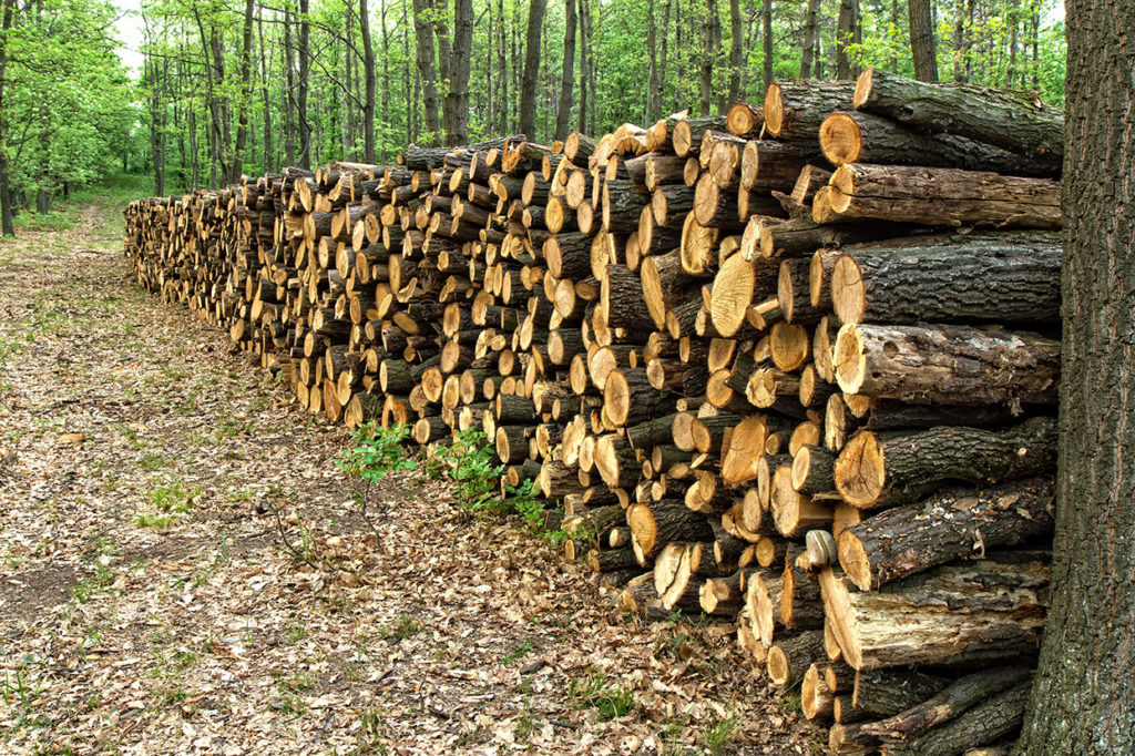 A Shelterwood Timber Harvest Leaves Rows of Mature Trees Standing